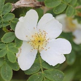 rosa sericea pteracantha1.jpg