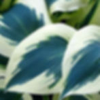 blue ivory.jpg