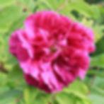 rosa kamtchatica hollandica4.jpg