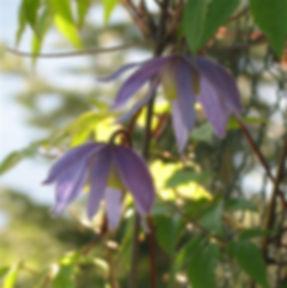 clematis alpina4.JPG
