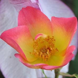 the alexandra rose3.jpg