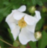 rosa arvensis1.JPG
