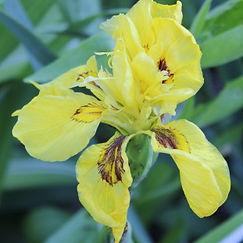 iris pseudacorus var flore pleno3.jpg