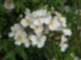 rosa arvensis3.JPG