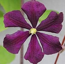 etoile violette4.jpg
