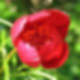 paeonia tenuifolia1.JPG