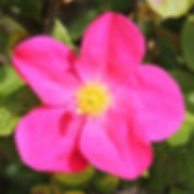 rose of picardy6.jpg