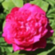 sophys rose6.jpg