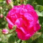 officinalis12.jpg