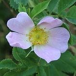 rosa canina4.jpg
