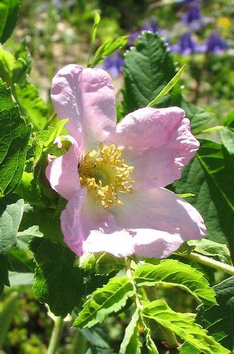 rosa pendulina6.jpg