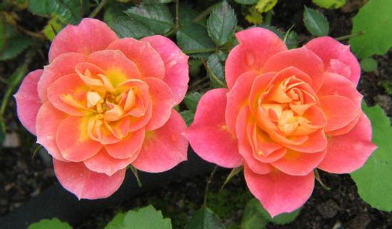 mini mandarin6.jpg
