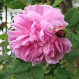 centifolia3.jpg