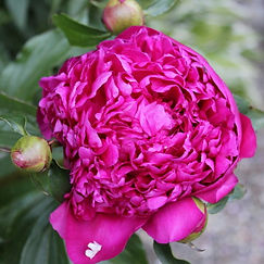 june rose4.jpg