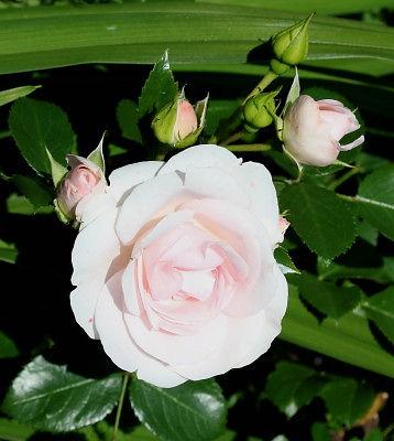 aspirin rose12.jpg