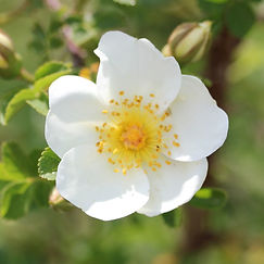 rosa pimpinellifolia altaica7.jpg