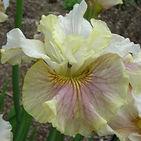 iris wynne magnolia.jpg