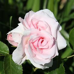 aspirin rose14.jpg