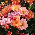 rose jazz.jpg