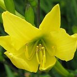 hemerocallis citrina5.jpg