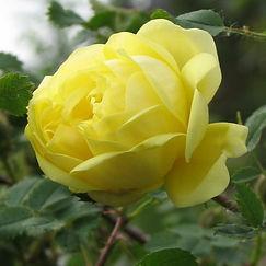 rosa hugonis flore pleno4.jpg
