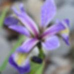 iris versicolor6.jpg