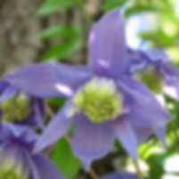 clematis alpina6.JPG