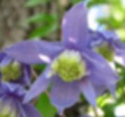 clematis alpina6_JPG.jpg