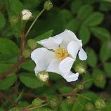 rosa arvensis2.JPG