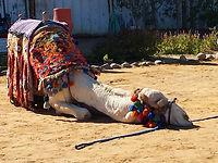 Kopie von kamel.jpg