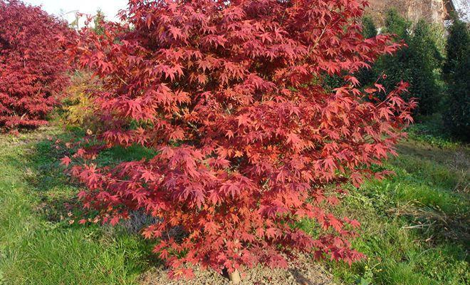 Japanischer Ahorn, Acer palmatum 'Atropurpureum'