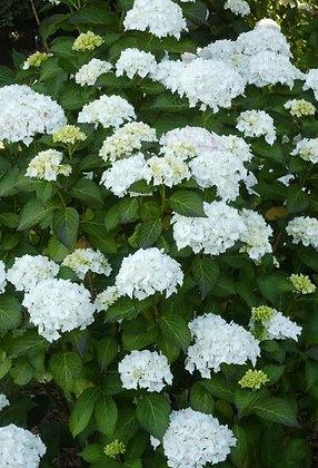 Ballhortensie, Hydrangea macrophylla 'Soeur Therese' C7