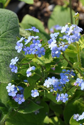 Kaukasus-Vergissmeinnicht 'Brunnera macrophylla'