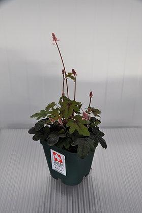 Schaumblüte Tiarella laciniata 'Pink Bouquet'