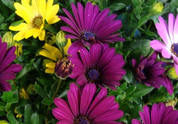 Osteospermum diverse Farben