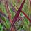 Thumbnail: Japanisches Blutgras 'Red Baron'