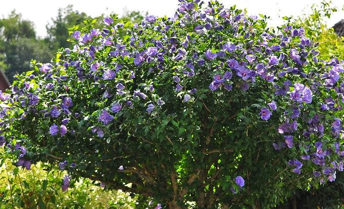 Hibiskus, Hibiscus syriacus 'Oiseau Bleu'