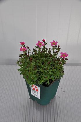 Moos-Steinbrech Saxifraga x arendsii 'Highl.Rose Shade'