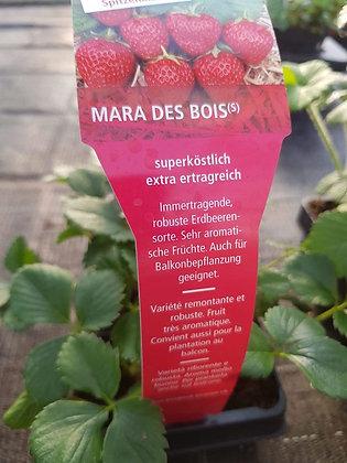 Erdbeeren Mara des Bois