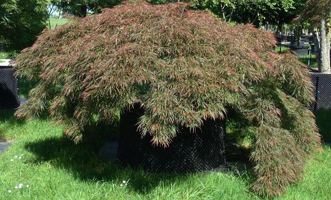 Japanischer Ahorn, Acer palmatum 'Ornatum'
