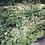 Thumbnail: Schaumblüte 'Tiarella cordifolia'