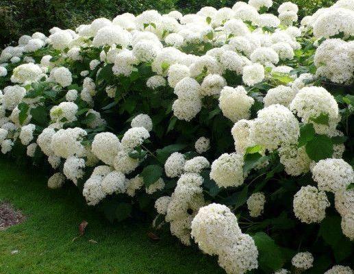 Ballhortensie, Hydrangea arborescens 'Annabelle' C7