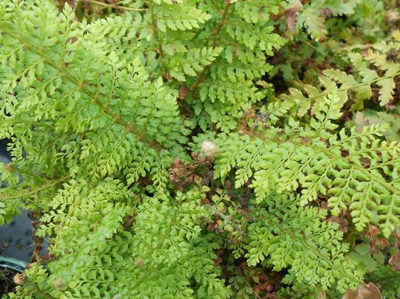 Schildfarn 'Polystichum setiferum'