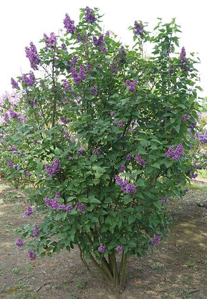 Edelflieder, Syringa vulgaris 'Charles Joly'