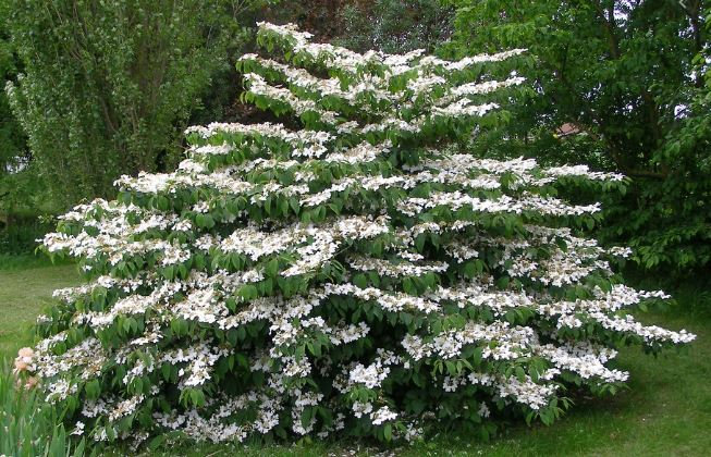Japanischer Schneeball, Viburnum plicatum 'Mariesii'