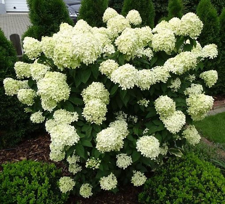 Rispenhortensie, Hydrangea paniculata 'Limelight' C7