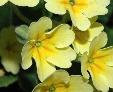 Primula veris gelb