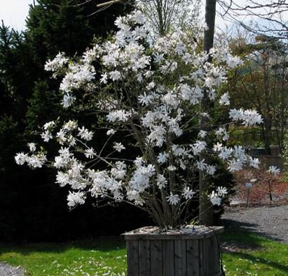 Sternmagnolie, Magnolia stellata