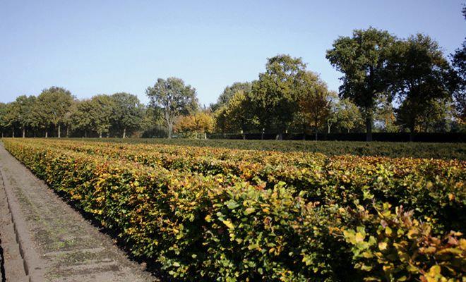 Heckenpflanze Rotbuche, Fagus sylvatica