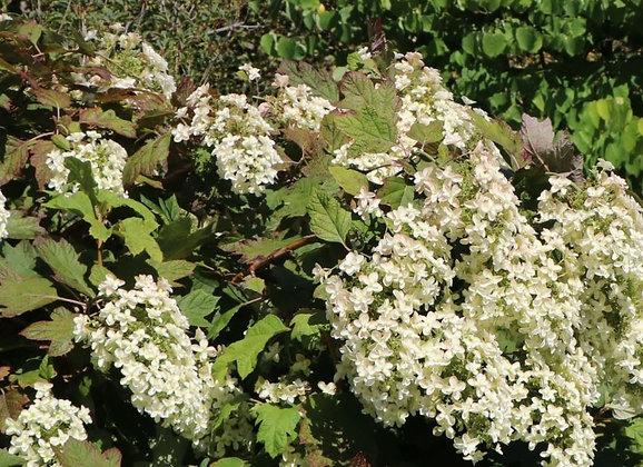 Eichenblättrige Hortensie, Hydrangea quercifolia (H 70/80 cm)